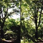 Point N°2.<BR>Le plus gros chêne recensé sur notre commune. Et, fait plus étonnant, il ne s'agit pas d'un chêne pédonculé (le plus fréquent) mais bien d'un chêne sessile.