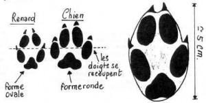 L'emprunte du renard comparée à celle du chien.