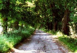 Les tilleuls bordants le Chemin du Fawetay.