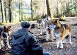 Les loups du Parc à Gibiers de La Reid (Forestia)