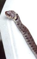 serpent1