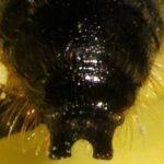 Chelostome des renoncules - Bout de l'abdomen du mâle