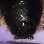 Chelostome commun des campanules - Bout de l'abdomen du mâle