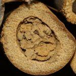 Osmie rousse - Bouchon de fermeture en terre