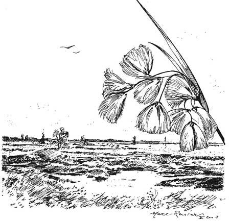Paysage de la fagne ; la linaigrette au bord de la mardelle (lithalse)