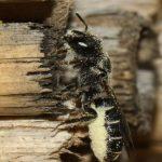 Chelostome commun des campanules -  Femelle rentre au nid avec la brosse ventrale chargée dupollen blanc des campanules
