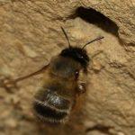 Anthophore à pattes plumeuses - Femelle à l'entrée de son nid