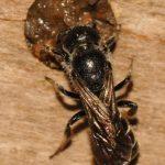Chelostome commun des campanules - Femelle insère une pierre dans la terre humide