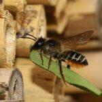 Femelle vole vers son nid avec un morceau de feuille ovale tenu entre ses pattes et ses mandibules