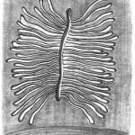 Galeries maternelles verticales et larvaires horizontales