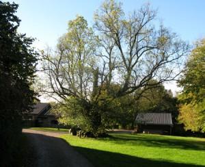 L'orme de la  cour de l'ancienne ferme de Bérinzenne.