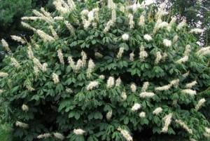Le pavier blanc : massif arbustif et inflorescence
