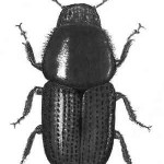 Scolytus scolytus (dimension : 5 mm)