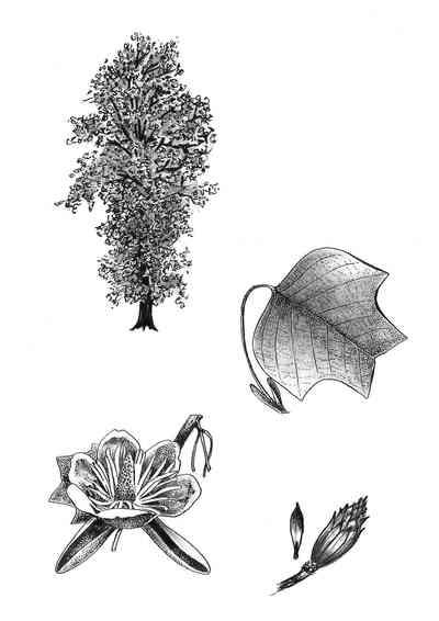 Le tulipier de Virginie : Silhouette, feuille, fleur et fruit