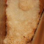 Cellule en poils végétaux imbibés de secrétions glandulaires végétales (gouttelettes orangées) et contenant un mélange visqueux de nectar et de pollen